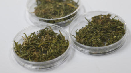 Marihuana-Proben in einem Labor des Rangsit University Medicinal Cannabis Research Center in Bangkok. Foto: epa/Rungroj Yongrit