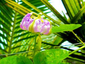 unvergleichlich einmalig schön hat die Passionsfrucht Eine bezaubernde Blüte