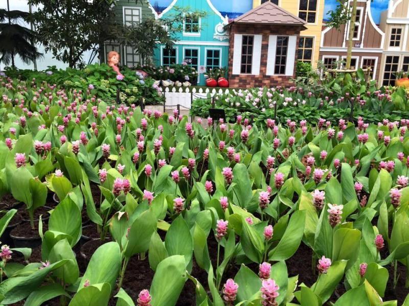 tulpen festival in buriram thailand. Black Bedroom Furniture Sets. Home Design Ideas