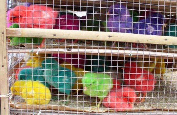 Geschäft mit gefärbten küken stößt auf massive kritik