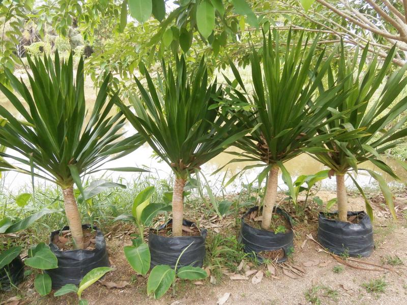 yucca palme umtopfen yucca palme pflanzen das sollten sie beachten wie sie ihre yucca palme. Black Bedroom Furniture Sets. Home Design Ideas